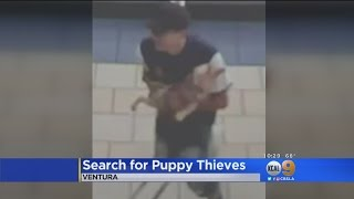 Search Is On For Puppy Bandits Caught On Camera At Ventura Animal Rescue