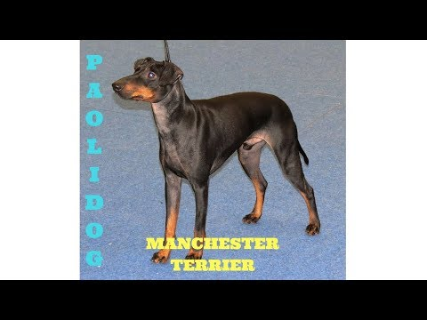 MANCHESTER TERRIER   TOP 10 INTERESTING FACTS