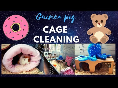 Guinea pig cage cleaning 2019