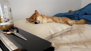 バテてる様子が可愛い柴犬。