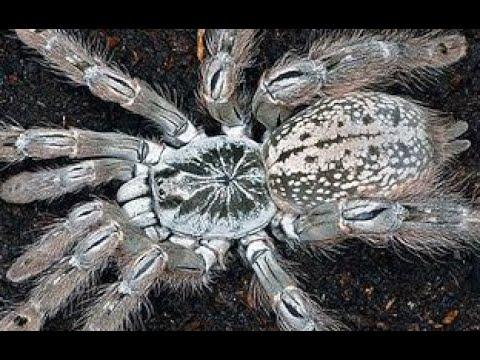 Cho Nhện Togo Starburst Baboon Ăn ( Feeding Heteroscrodra Maculata )