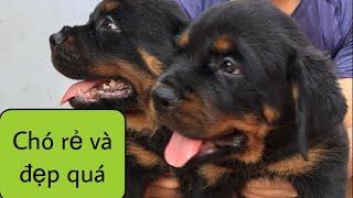Chó rottweiler giá rẻ Bình Dương -Trại Chó Rottweiler Bình Dương- rottweiler so cute-0932671707