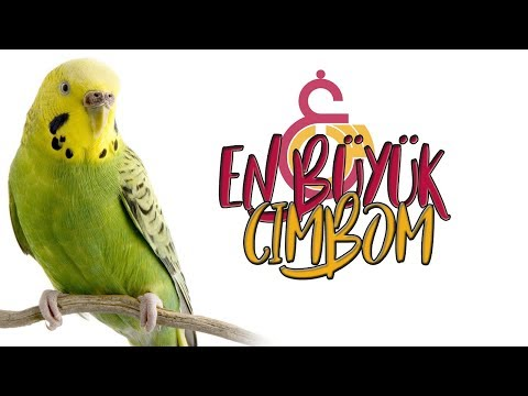 "EN BUYUK CIMBOM: Teach Your Parrot and Budgerigar to ""THE BIGGEST CIMBOM"""