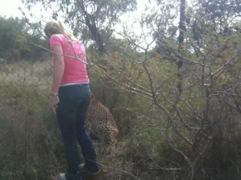 Cheetah petting at the mokolodi nature reserve