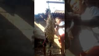 Download Video Jagal wanita 👍👍 MP3 3GP MP4