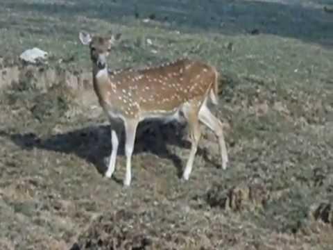 WORLD BIG DEER in AFRICA Real Cute Animal