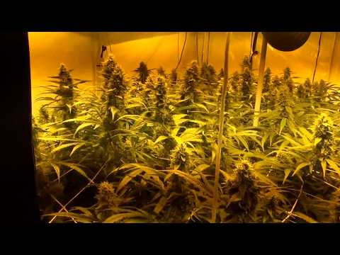 AMNESIA HAZE IN: IWS NFT HOMEBOX ULTIMATE PLANT CAGE day 47