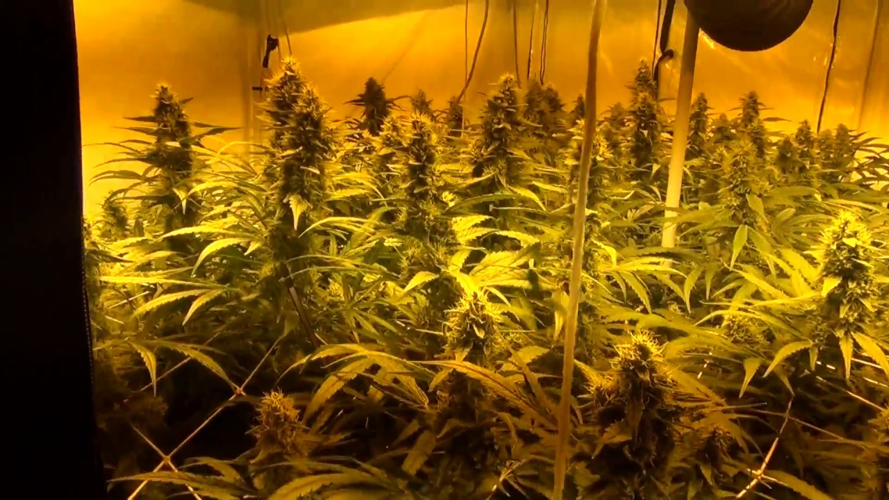 best led grow lights cannabis best wiring diagram and. Black Bedroom Furniture Sets. Home Design Ideas