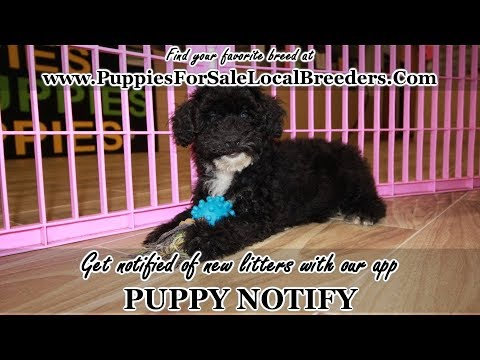 TOY POODLE PUPPIES FOR SALE, GEORGIA LOCAL BREEDERS