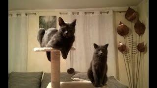 Funny Cats, Lovely Cąts - Boris & Emily Russian Blue, Russisch Blau silbergraue Katzenrasse