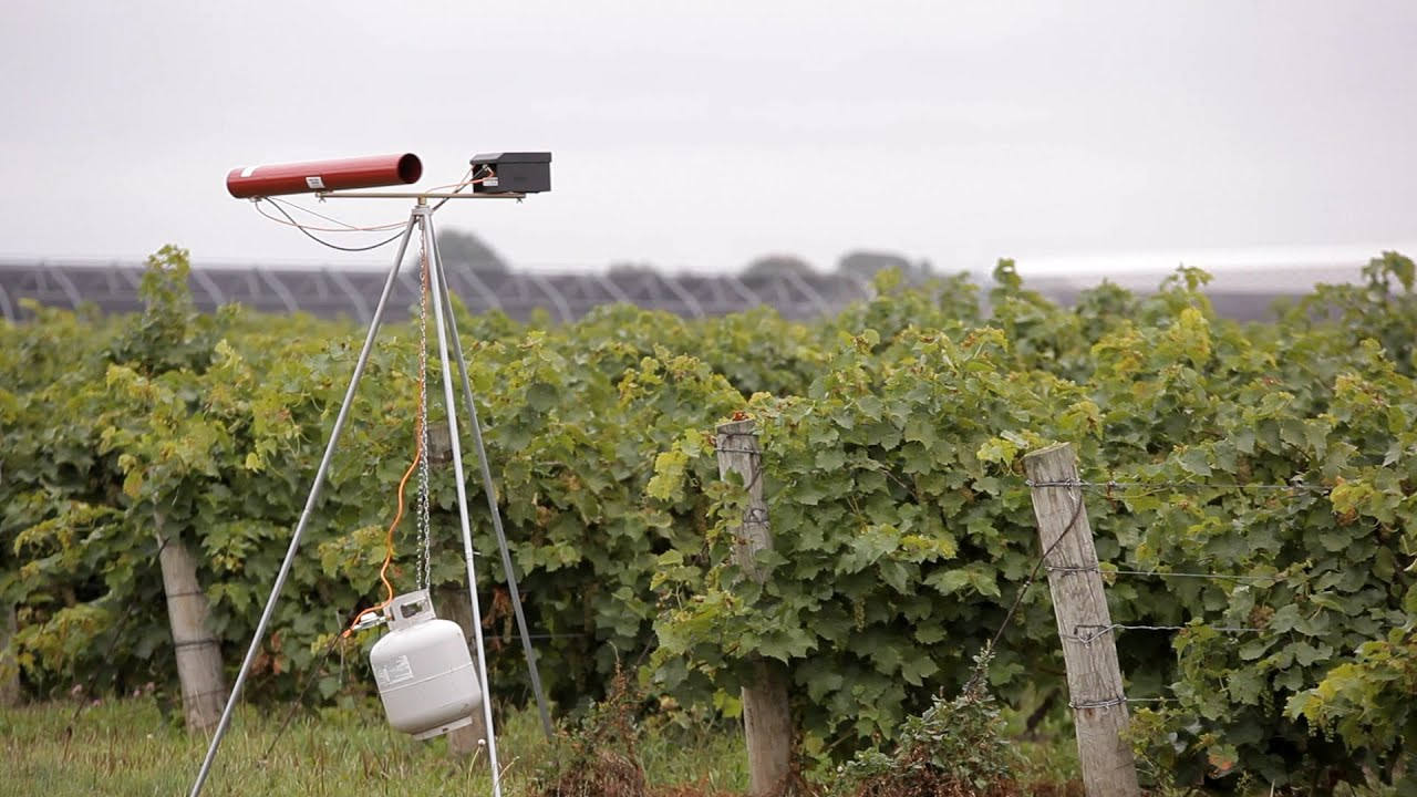 Using Propane-Fired Cannons to Keep Birds Away From Vineyards