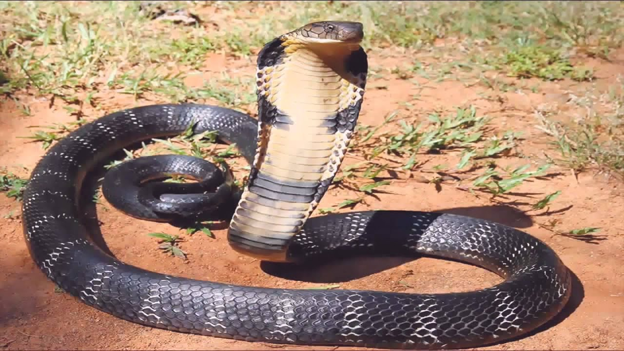king cobra attack man top 3 man vs king cobra youtube