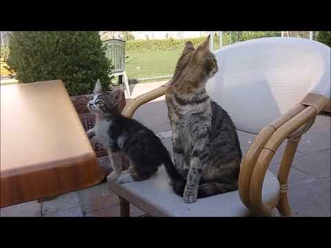 Mom cat says: Where is my kitty ?  ( Kitten falling down )