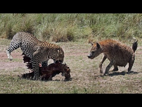 ГИЕНЫ В ДЕЛЕ! Гиены против львов, гепардов, антилоп, бегемотов и носорогов!