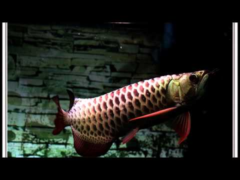 The Dark Blue Arowana