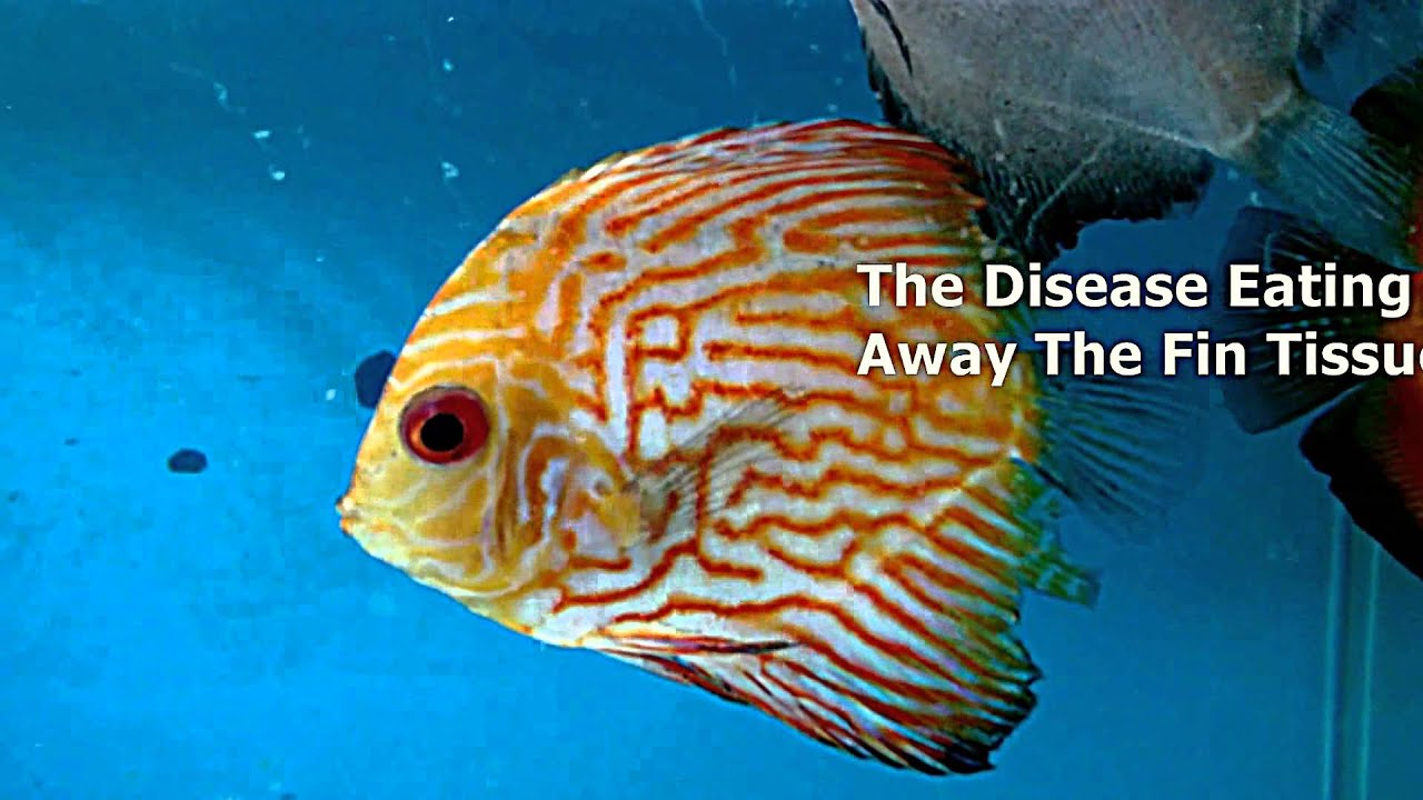 Fin rot and tail rot disease identification and for Fish tail fin