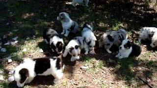 Augie Puppies.  Corgi X Toy Aussie Puppies Available