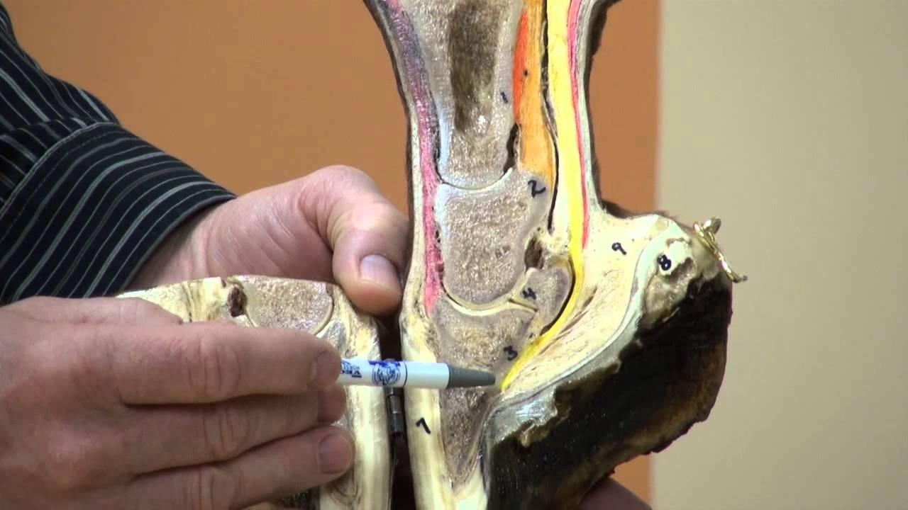 Anatomy of the Hoof & Lower Limb Part 1 - YouTube