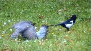 Kampf zwischen Sperber (Habicht),Taube und Elster