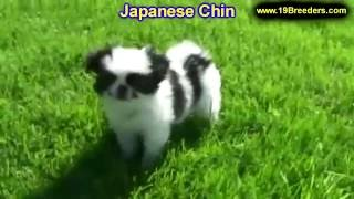 Japanese Chin, Puppies, For, Sale, In, Anchorage, Alaska,AK, Fairbanks, Juneau, Eagle River