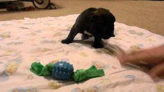 French Bulldog Puppy Name Kiwi