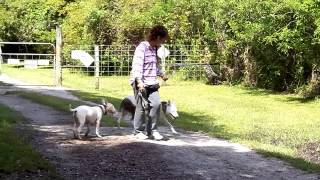 Deaf Dog Edward Obedience Training Dogtra Remote Pager E Collar