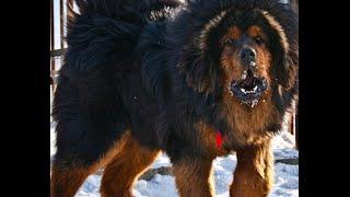 Фото самой большой породы собак