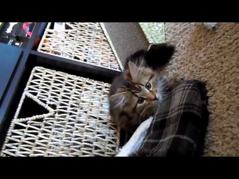 Cullen -3 months old  Maine Coon Kitten & his teaser toy