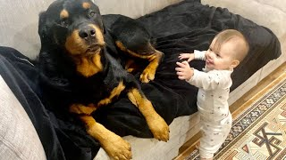 A morning with Rottweiler and Baby |82
