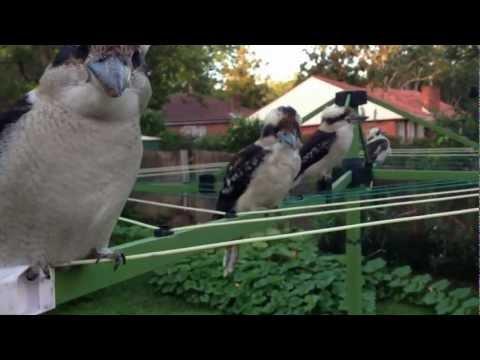 More Kookaburras at the Kitchen Window