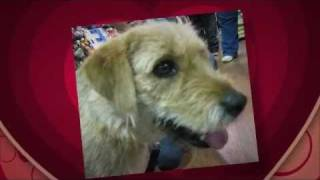Little Girl Is An Adoptable Wirehaired Terrier, German Shepherd Dog Looking For A Home