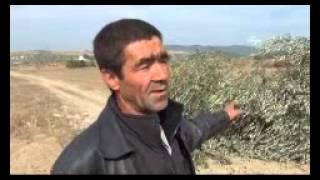 Yırca'da sabah arbede çıktı, yaklaşık 8 bin zeytin ağacı kesildi