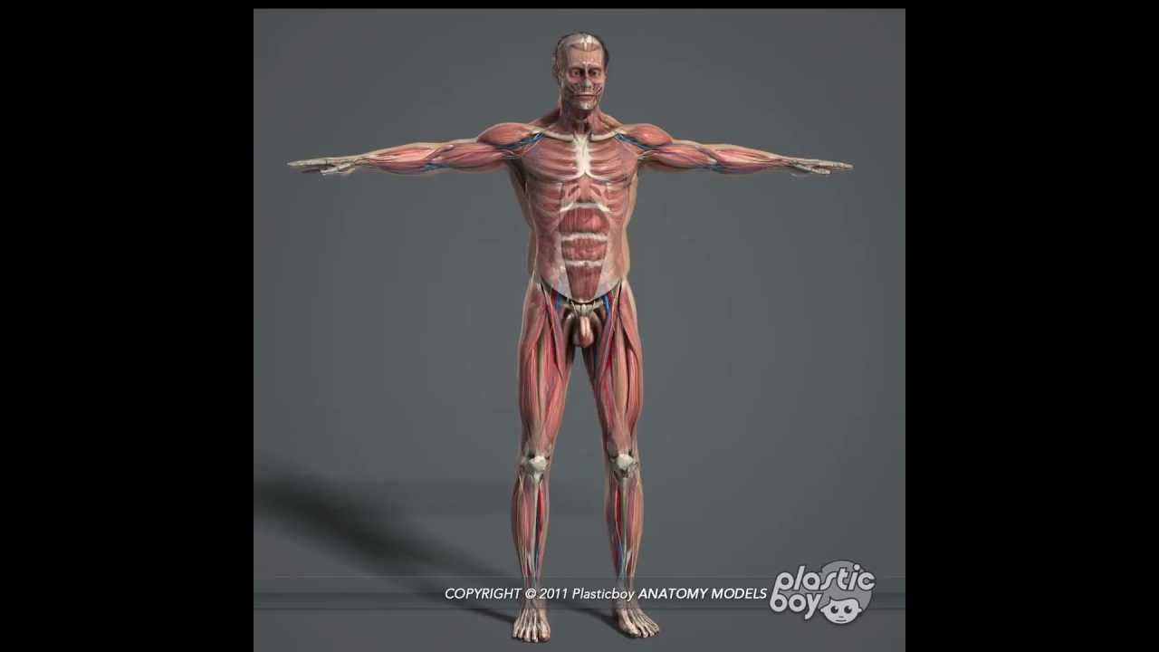 Human Anatomy Muscles 3D Model Pack (Fully Textured) - www ...