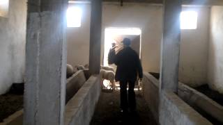 Elevage bovin charolais 2 à Essaouira .mp4