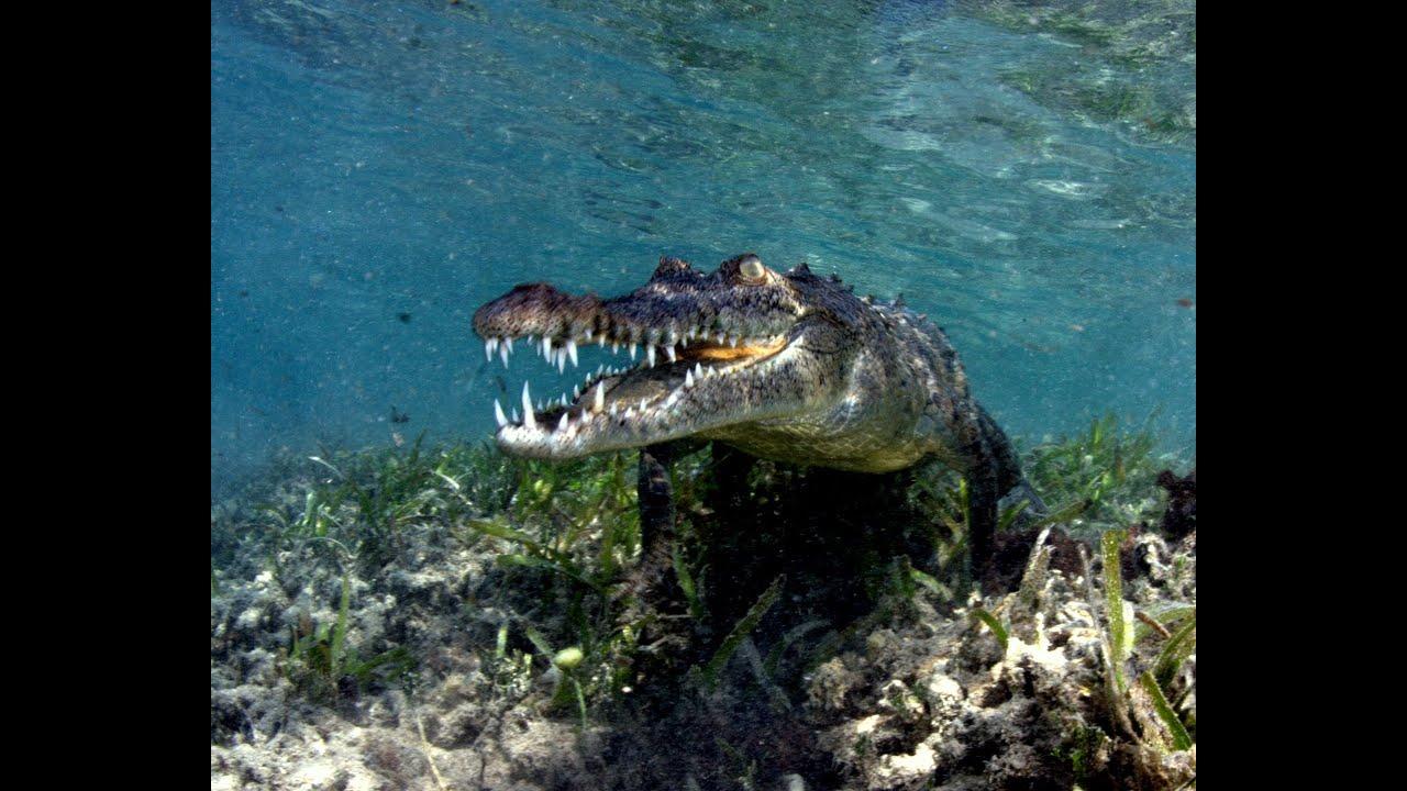 Jardines de la reina salt water cuba crocodile youtube for Letras gijon jardines de la reina