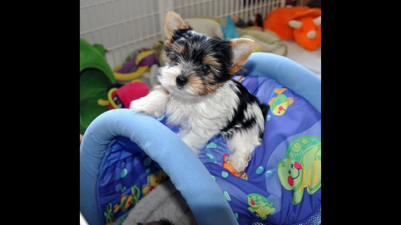 Sweet Puppy Lov | Yorkie Puppy's for sale