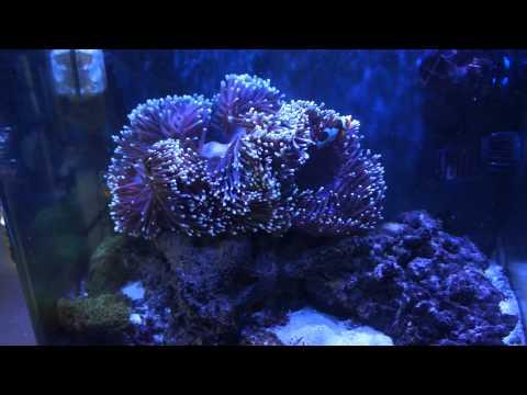 2 mouth heteractis magnifica anemone