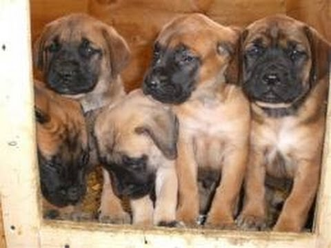 Mastiff, Puppies, For, Sale, In, Green Bay, Wisconsin, WI, Eau Claire,  Waukesha, Appleton, Racine, K