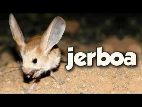 jerboa youtube