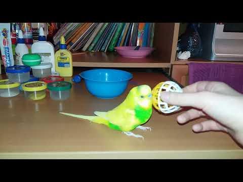 Мой волнистый попугай играет с шариком / Смешные танцы попугая