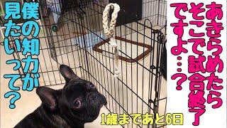 フレブル子犬タプさん生後359日目♪ タプの大好きな相棒の紐のおもちゃ「...