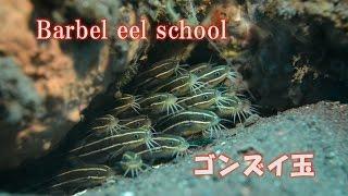 ゴンズイ ごんずい玉 毒を持つゴンズイ Barbel eel ダーウィンが来た!