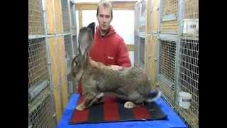 Разведение кроликов Крол породы Бельгийский великан