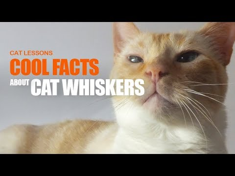 Cool Facts About Your Cat's Whiskers