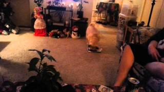 Watch My Pug Name Big Girl Open Up Her Present .