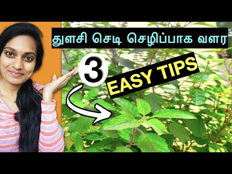Thulasi valarpu- சிறந்த டிப்ஸ்|How to grow basil - BestTips- Veetu thottam tamil