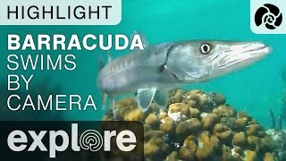 Barracuda Swims by Camera - Cayman Reef Live Cam Highlight thumbnail