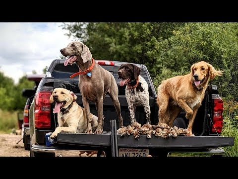 Epic Quail Hunt | Plant Birds For Gun Dog Training | Bird Hunting Dog Breeds:Vizsla, GSP, Weimaraner