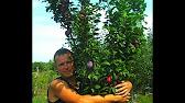 21 май 2016. Какой сорт цветущей декоративной яблони выбрать, и будет ли он. Представители декоративных видов — это яблоня недзвецкого.