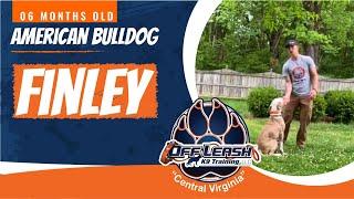 6mo American Bulldog (Finley)  Best Dog Trainers in Fredericksburg, VA